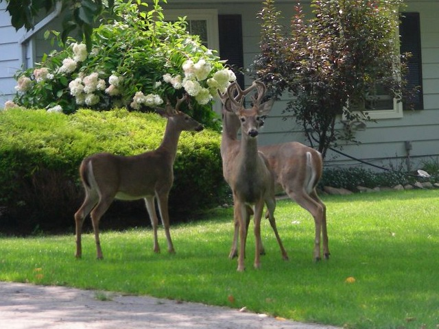 Great Ways to Keep Deer Out of Your Yard
